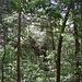 Der Wald hier scheint etwas trockener zu sein als bei Carara, eigentümliche und riesige Bäume gibt es aber auch.
