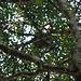 Oben im Baum sitzt ein Faultier. Die Fellkugel bewegt sich überhaupt nicht. Naja, irgendwo her muss der Name ja kommen.