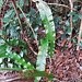 Phyllitis scolopendrium (L.) Newman<br />Aspleniaceae (Polypodiaceae p.p.)<br /><br />Scolopendria comune.<br />Langue de cerf.<br />Hirschzunge.