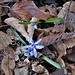 Scilla bifolia L.<br />Asparagaceae (Liliaceae p.p.)<br /><br />Scilla silvestre.<br />Scilla à deux feuilles.<br />Zweiblättriger Blaustern.