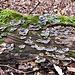Funghi saprofiti su un tronco a Negrenza.