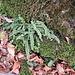 Asplenium trichomanes L.<br />Aspleniaceae (Polipodaceae p.p.)<br /><br />Asplenio tricomane.<br />Capillaire rouge.<br />Braunstieliger Streifenfarm.