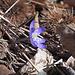 Frühlingsboten: Leberblümchen