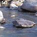 Auf einem Stein in der Moesa lauert eine Wasseramsel. (In der Vergrösserung ist sie gut sichtbar.)