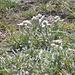 und Edelweiss