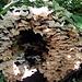 Tropische Schwammerl