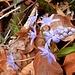 am Tuusiger Stägli sichten wir zu Hauf diese kleinen, doch überaus schönen, Liliengewächse