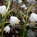Hunderte dieser prächtigen Frühlingsblumen begleiten uns ...