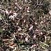Erica carnea L.<br />Ericaceae<br /><br />Erica carnicina.<br />Bruyére carnèe.<br />Schneeheide.
