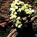 Primula acaulis (L.) L.<br />Primulaceae<br /><br />Primula comune.<br />Primevère acaule.<br />Stängellose Schlüsselblume.