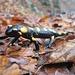 """Un simpatica piccola salamandra incontrata sul sentiero nel bosco in località """"Rimera"""". La vistosa colorazione """"aposematica"""" ha funzione di avvertimento nei confronti di potenziali nemici naturali, infatti le ghiandole sulla pelle della salamandra secernono un liquido urticante."""