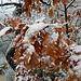 schneebehangene Flaumeichenblätter ...
