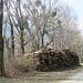 Holzschlag mit Misteln