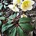 Helleborus niger L.<br />Ranunculaceae<br /><br />Elleboro bianco.<br />Rose de Noel.<br />Christrose.