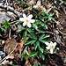 Anemone nemorosa L.<br />Ranunculaceae<br /><br />Anemone bianca.<br />Anémone des bois.<br />Busch-Wildroschen.