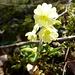 Schlüsselblume kündet den langersehnten Frühling an