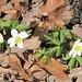 """""""floristischer"""" Frühling im Chälengraben ... (Busch-Windröschen oder Wald-Anemone)"""