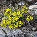 ... welches direkt zum Felsaufbau der Belchenflue führt; hier mit blühenden Felsenblümchen ...