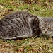 etwas misstrauisch, die Katze oberhalb Chambersberg