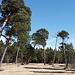 Kiefernwald in der Au, es sieht aus wie in Namibia