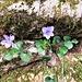 Viola riviniana Rchb.<br />Violaceae<br /><br />Viola di Rivinus.<br />Violette de Rivinus.<br />Rivinus Velchen.