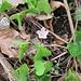 Oxalis acetosella L.<br />Oxalidaceae<br /><br />Acetosella dei boschi.<br />Oxalis petit oseille.<br />Wald-Sauerklee.
