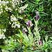 Schopflavendel und weiße Heide, welch schöner Kontrast