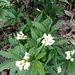 Cardamine heptaphylla (Vill.) O.E.Schulz Brassicaceae  Dentaria pennata Dentaire à sept feulles Fiedereblättrige Zahnwurz. Impatiens parviflora ???
