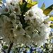 Kirschblüten I