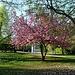 Sakura (japanische Kirschblüte) in einem Park