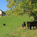 schon Morgens um 9.20 Uhr suchen die Kühe nach Schatten