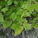 Giovani foglie di faggio. Sulla cima ci si aspetterebbe di trovare rocce, invece c'è un piccolo boschetto (!)