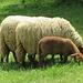 Schafhaltung am Waldheim