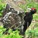 Monte Roveraccio : Picchio dalla testa rossa