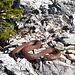 Junge Kreuzotter am sonnigen Wegesrand (ca. 30cm).