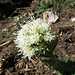 Weisse Pestwurz (Petasites albus)