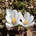 überaus gefällige Voralpen-Frühlingsblumen