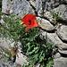Papaver rhoeas L.<br />Papaveraceae<br /><br />Papavero comune, Rosolaccio.<br />Coquelicot.<br />Klatsch-Mohn.<br />