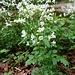 Bitteres Schaumkraut, alte Heilpflanze, die auch zu Wildsalat verarbeitet werden kann