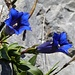 Meine Lieblingsblumen: stengellose Enziane!