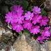 Behaarte Primel (Primula hirsuta)