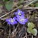 Leberblümchen (hatte ich ursprünglich als Lederblume bezeichnet)