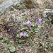 <b>Soldanella alpina.</b>
