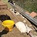 Ziegen geniessen die Frühlingssonne