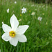 Narzissen-Blüte im Val Colla