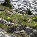 Auf dem Chriesegg: Hier liegt Dolomit über dem Verrucano, darum gefällt es den Flueblüemli hier