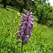 Orchidee im Tockenrasen.