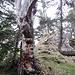 Abgestorbener Baum.