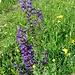 Salvia pratensis L.<br />Lamiaceae<br /><br />Salvia comune.<br />Sauge des prés.<br />Wiesen-Salbei.