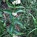Vincetoxicum hirundinaria L.<br />Apocynaceae (incl. Asclepiadaceae p.p.)<br /><br />Vincetossico comune.<br />Dompte-venin officinale.<br />Schwalbenwurz.<br />